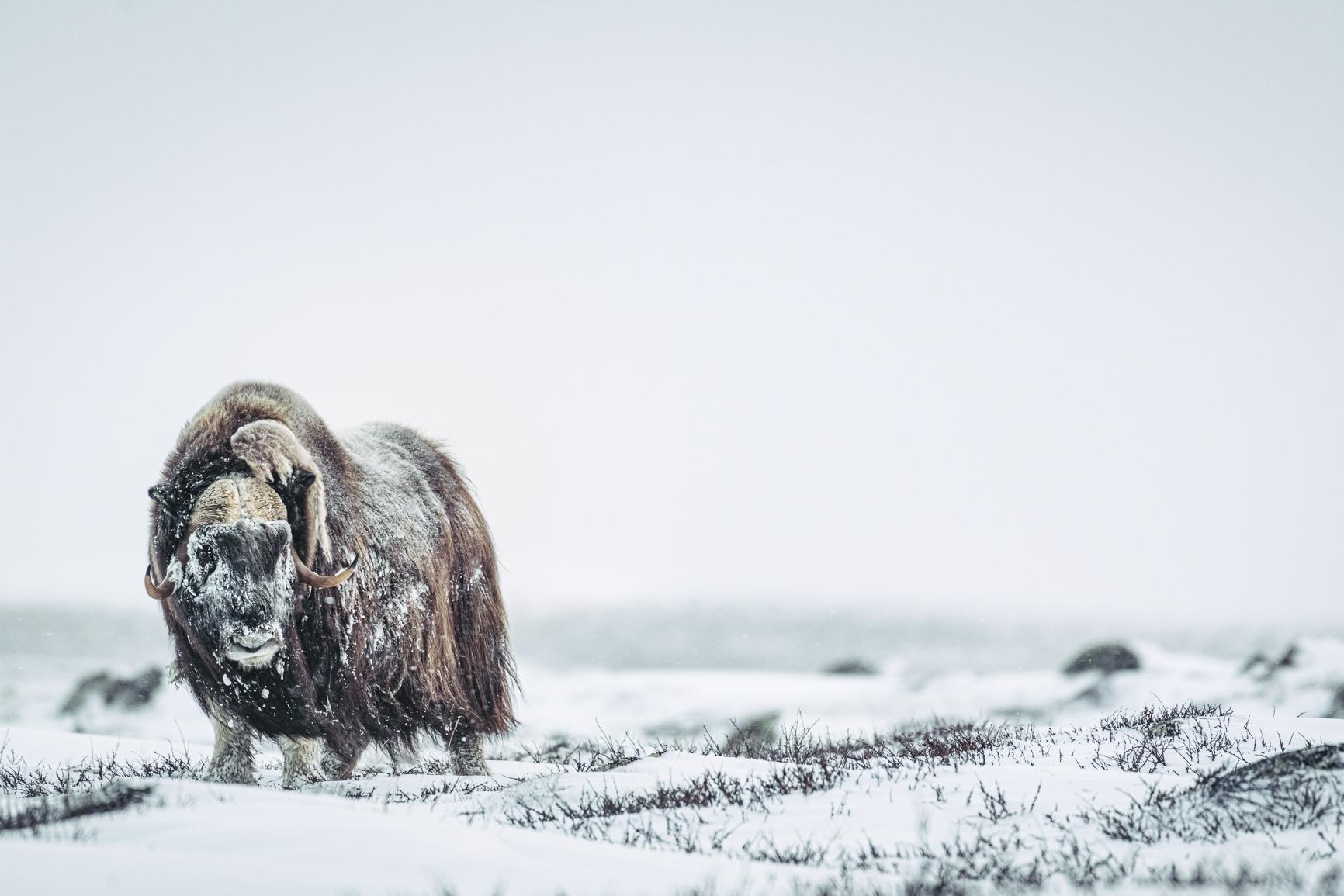 Moskus i snøen