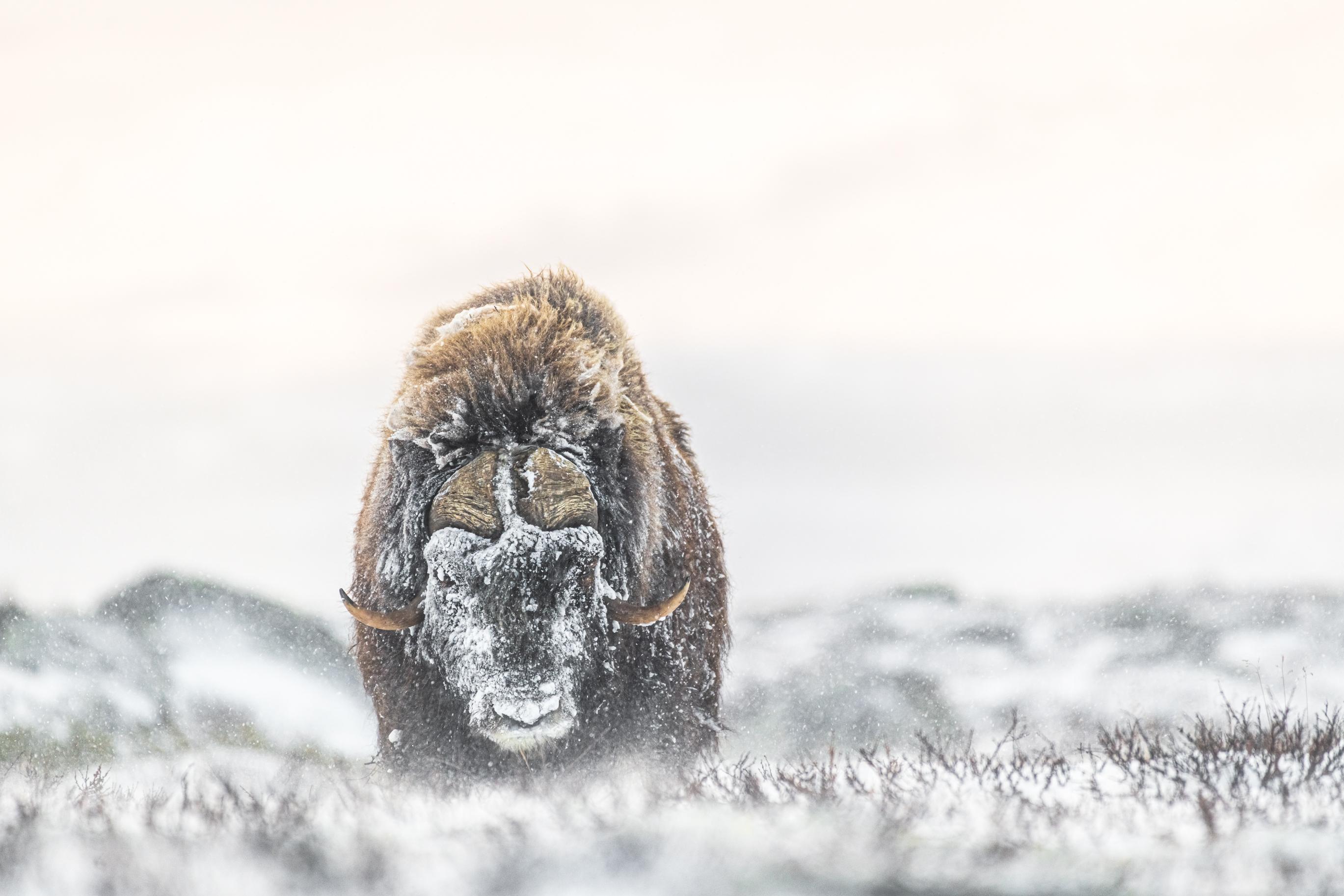 Moskus i snødriv