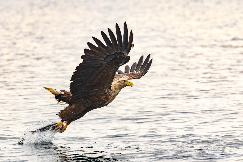 Havørn fanger fisk